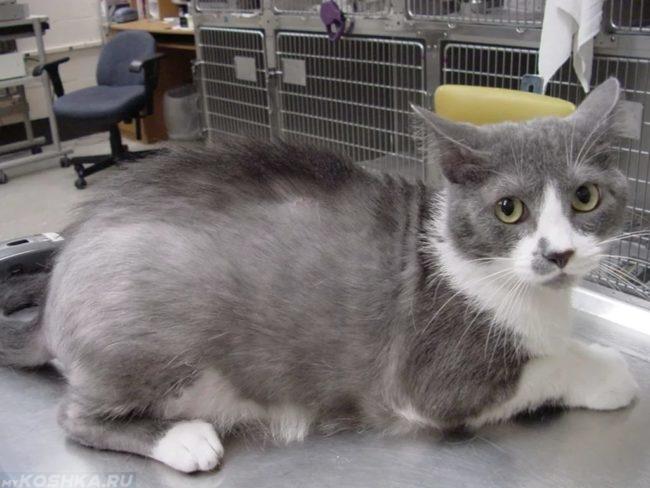 Серый кот пострадавший от выпадения шерсти