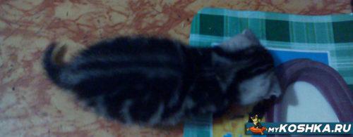 Маленький британский котёнок кушает окрас вискас
