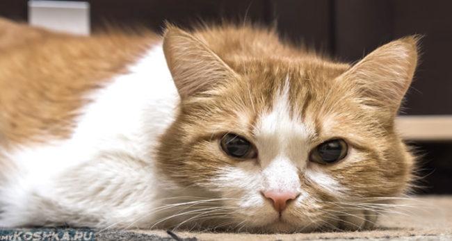 Рыже-белый кот грустно лежит