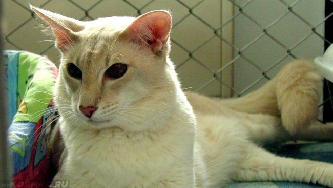 Белая кошка породы яванез находится в клетке рядом с лежанкой