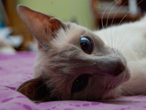 Кошка породы яванез лежит на фиолетовом покрывале