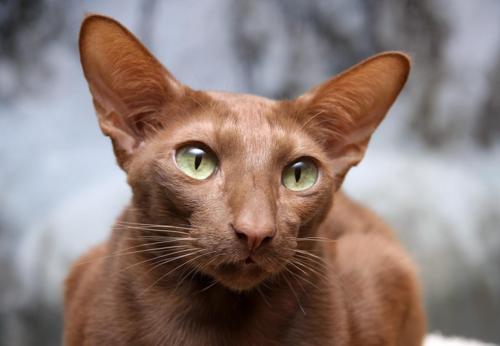 Коричневый кот породы яванез с большими ушами и зелеными глазами