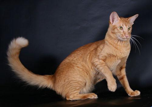 Рыжая кошка породы яванез подняла лапу