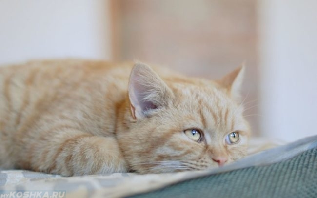 Рыжий кот заболевший от простейших