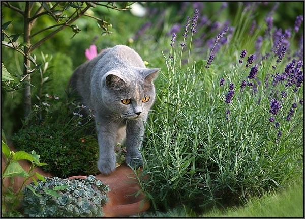 Кошка гуляет среди лаванды