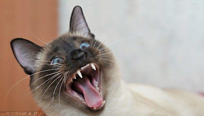 Сиамская кошка показывает свои зубы