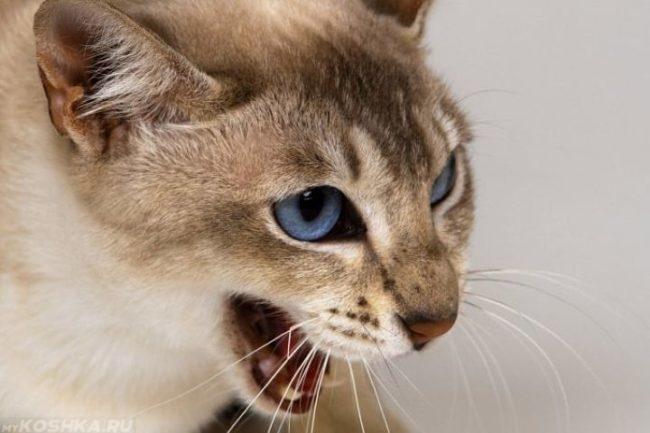 Агрессивная кошка с голубыми глазами