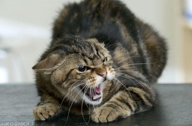 Агрессивный полосатый кот