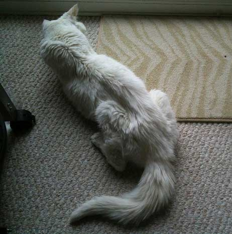 Анорексия у белой кошки