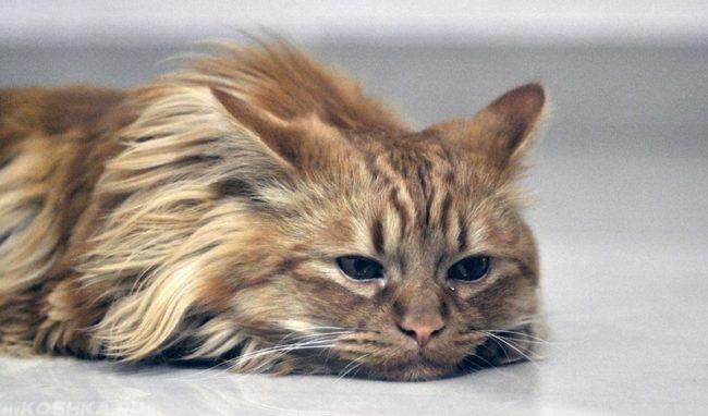 Апатия и снижение аппетита у кота