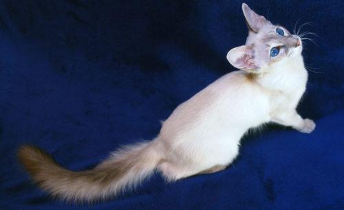 Балинезийская кошка на синем фоне