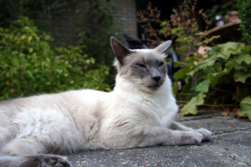 Балинезийская кошка на улице