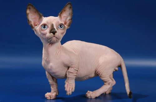 Кошка породы бамбино на синем фоне