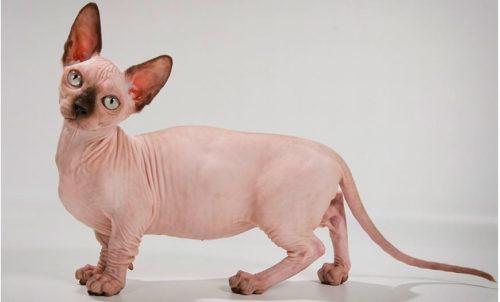 Кот породы бамбино