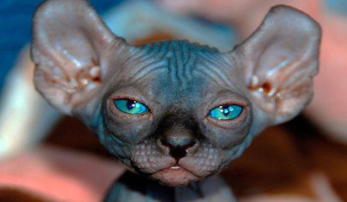 Кот породы бамбино с голубыми глазами