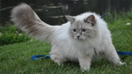 Белый с серым окрас кошки