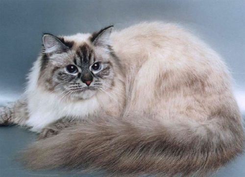 Бежевый с коричневым окрас кошки