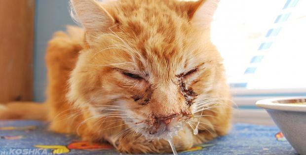 Рыжий кот с инфекционным ринотрахеитом