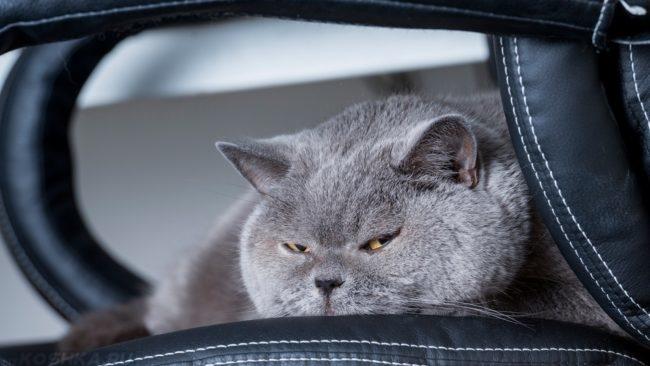 Серый британский кот лежит на диване