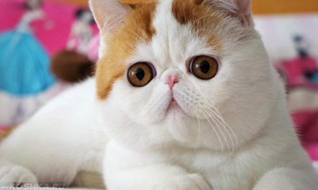 Кошка с укороченной формой морды