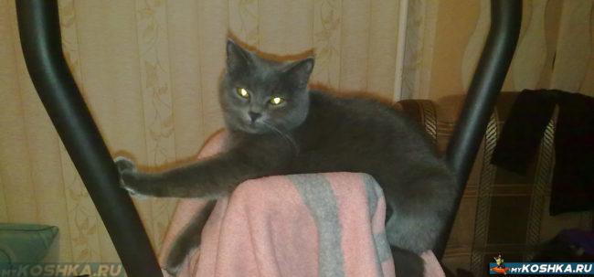 Британская кошка лежит на эллиптическом тренажёре