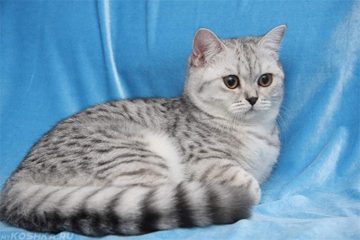 порода кошек британская фото