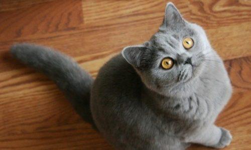 Серая британская кошка