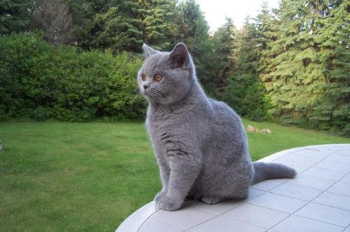 Серый британский кот на улице