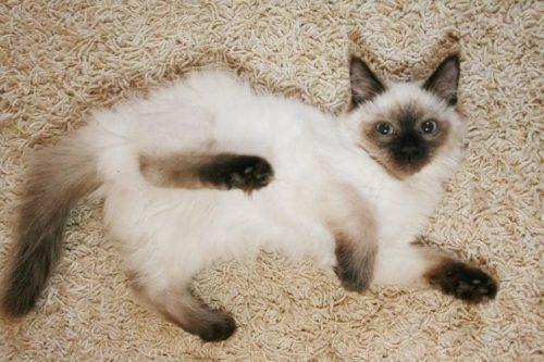 Черный с белым окрас кошки