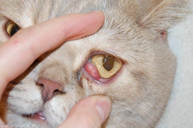 Дакриоцистит у кота в приближенном виде