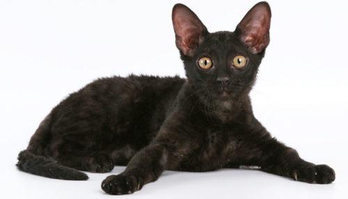 Черная кошка породы девон рекс