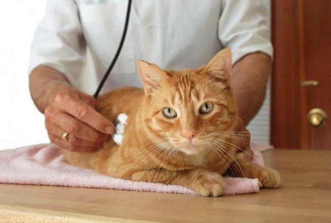 Рыжий кот на столе у ветеринара прослушиваемый стетоскопом