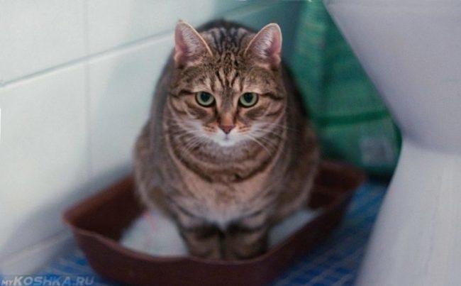 Диарея у кота сидящего в лотке с наполнителем