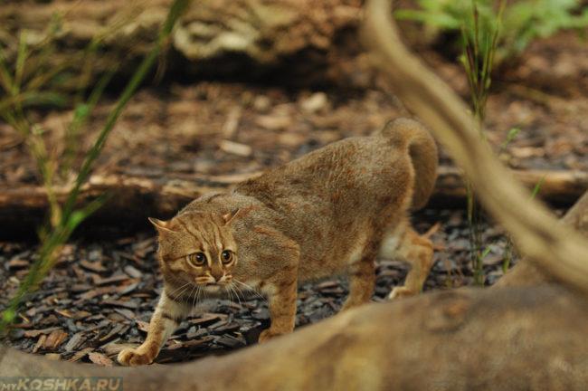 Самая маленькая дикая кошка крадется по лесу