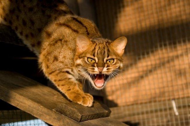 Дикая кошка крадется и шипит