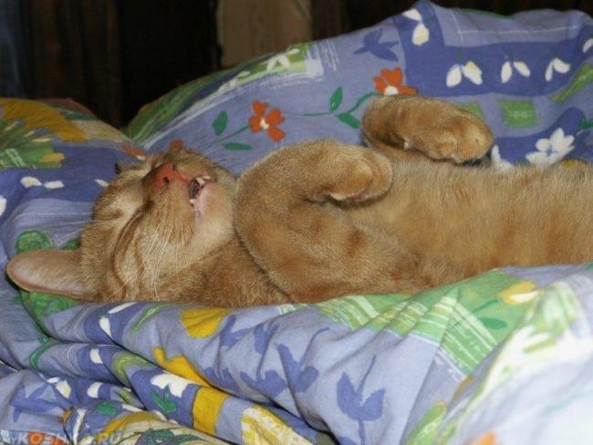 Рыжий кот дрожащий во сне
