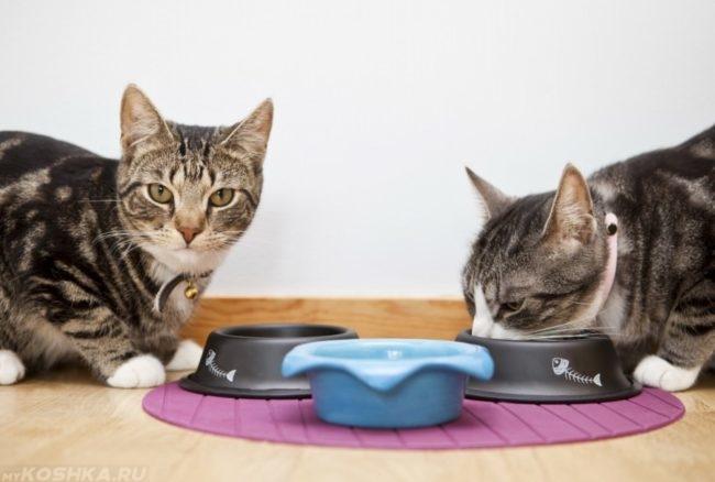 Два кота и три миски на полу