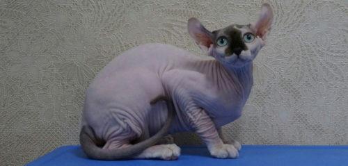 Кошка породы двэльф на синей поверхности