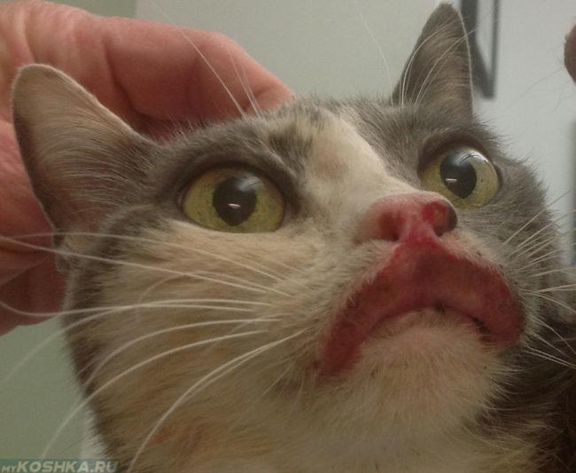 Эозинофильная бляшка на губе у кота