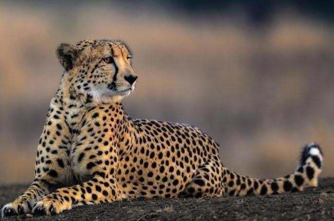 Пятнистый гепард с длинным хвостом