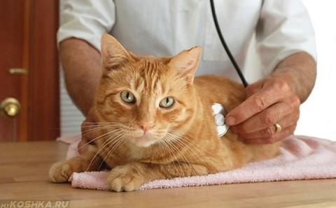 Ветеринар слушает рыжего кота