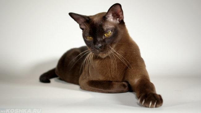 Гладкошерстная черная кошка