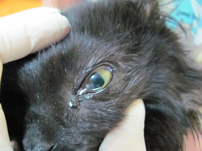Кератит у черного пушистого кота