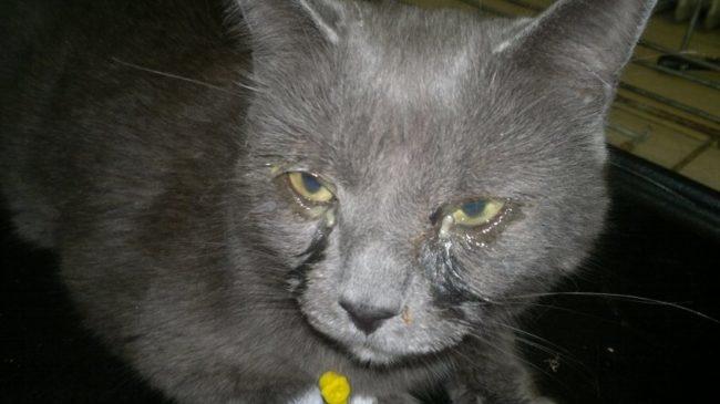 Гной на глазах у серого пушистого кота