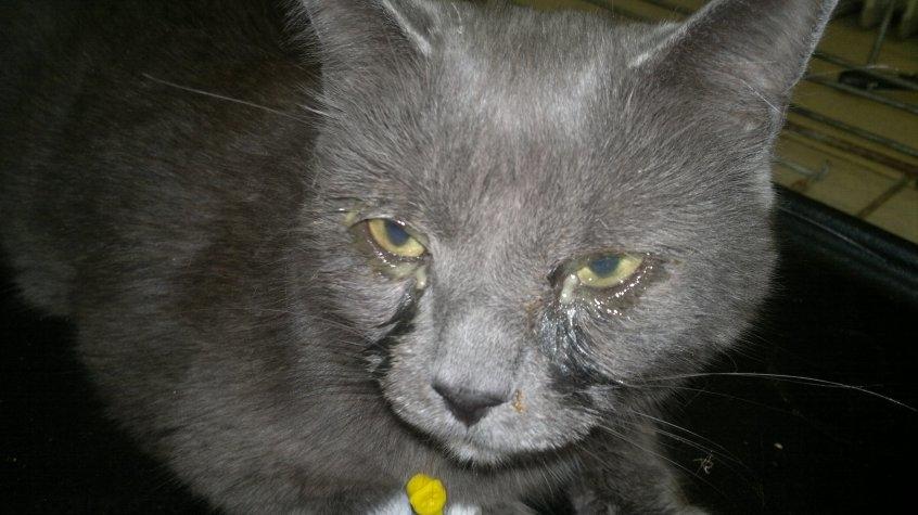 Конъюнктивит у кошки лечение в домашних условиях 270