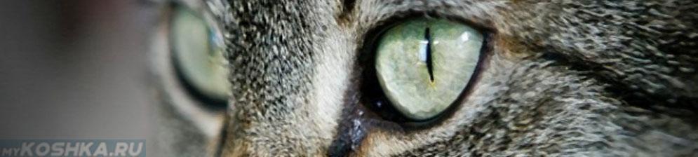 Гноятся глаза у кошки