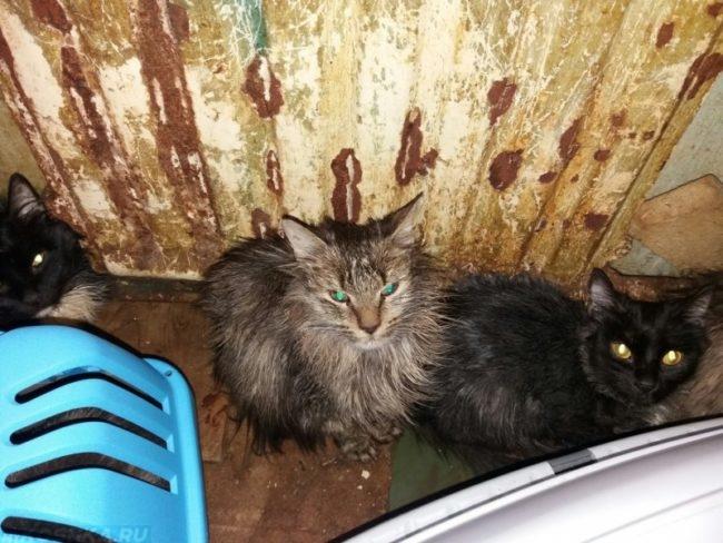 Пушистые кошки в грязной квартире
