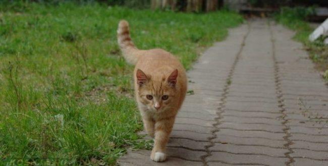 Гуляющий рыжий кот и зеленая трава