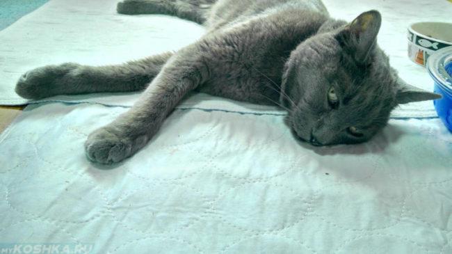 Интоксикация у серого кота