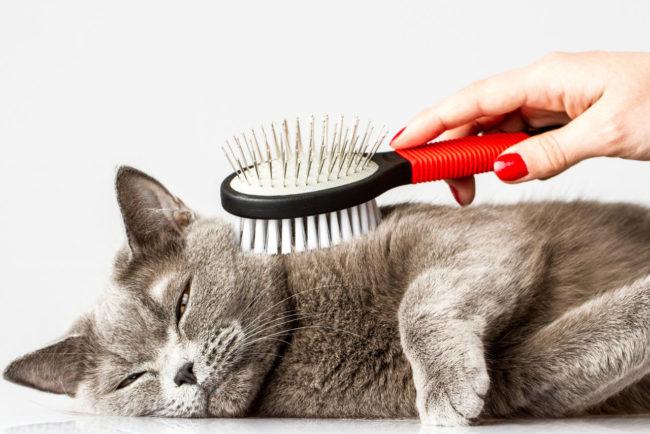 Серого кота расчесывают рассческой